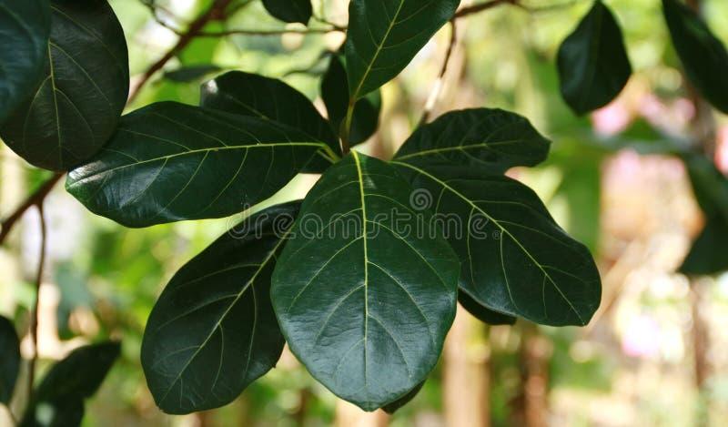Folhas do Jackfruit foto de stock