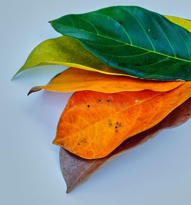 Folhas do Jackfruit imagem de stock royalty free