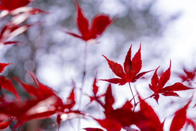 Folhas do japonicum vermelho de Acer do bordo japonês na frente de um bokeh brilhante borrado fotos de stock royalty free