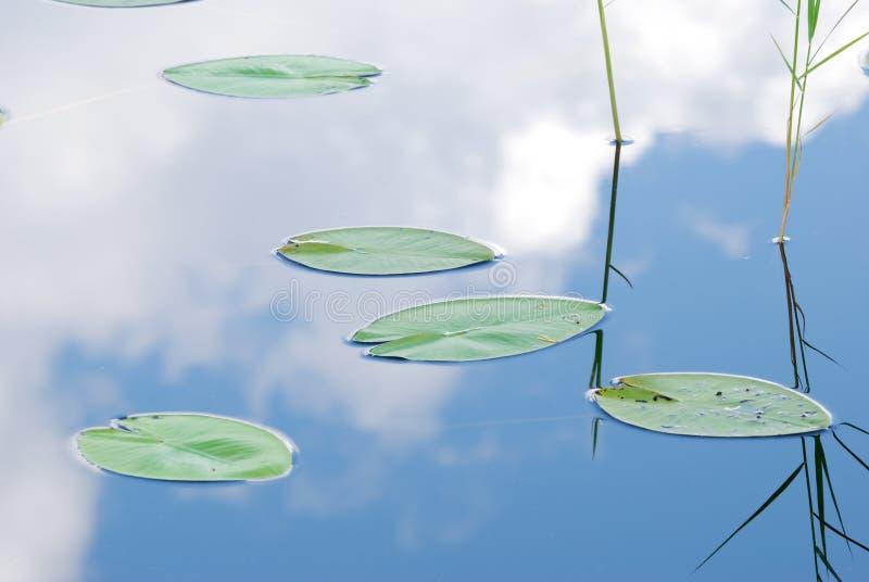 Folhas do lírio de água imagens de stock royalty free