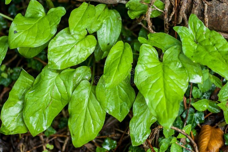 Folhas do lírio de aro do retrato da planta imagem de stock