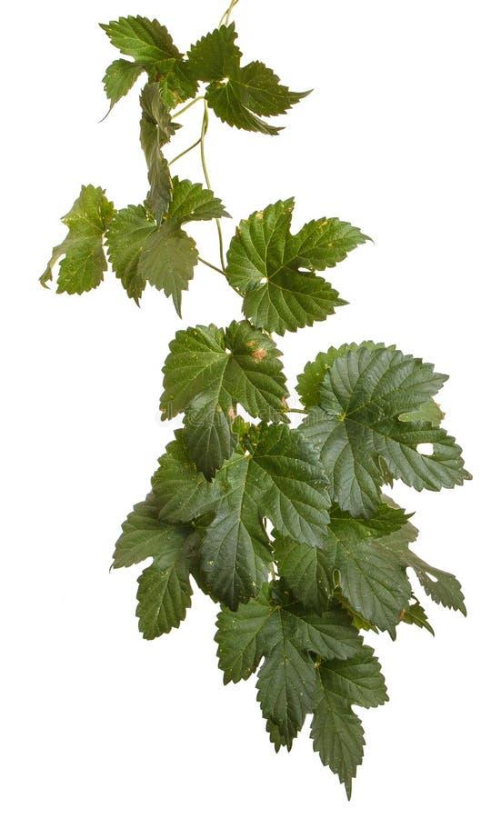 Folhas do l?pulo isoladas no branco foto de stock