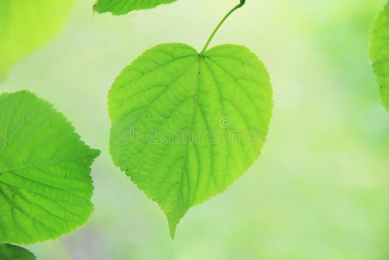 Folhas do Linden na primavera imagem de stock royalty free