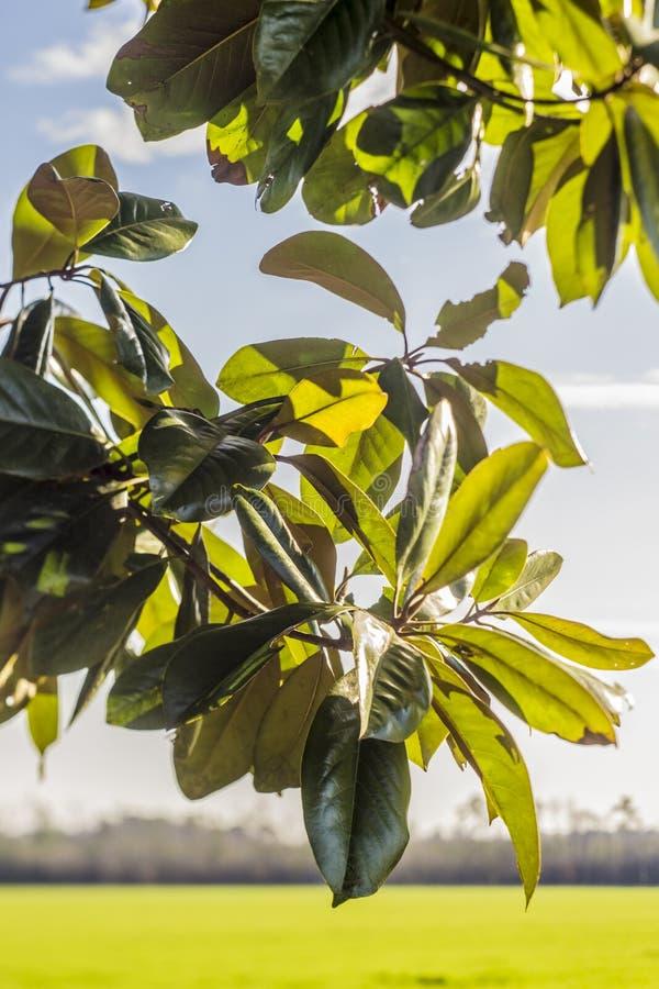 Folhas do Magnolia imagens de stock