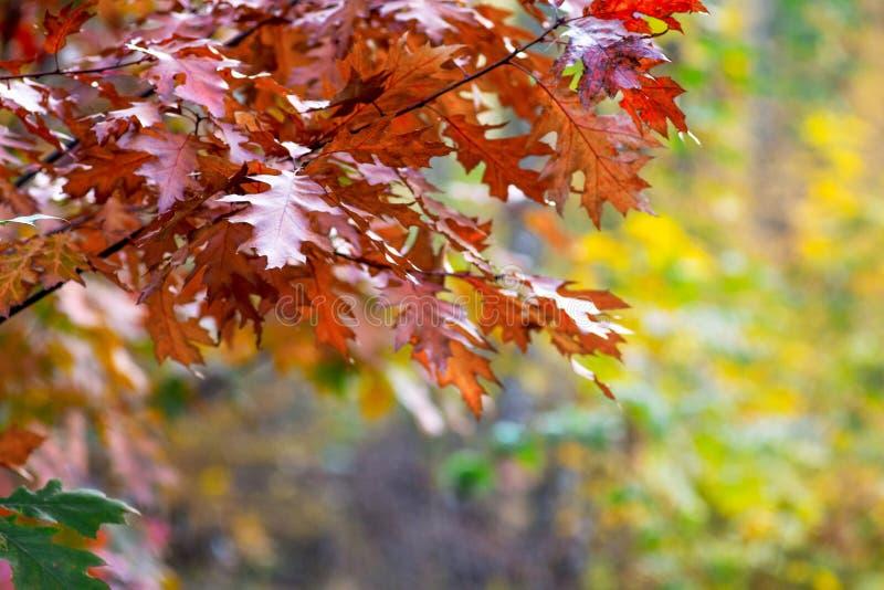 Folhas do marrom do outono do carvalho vermelho em um fundo obscuro no woods_ fotos de stock royalty free
