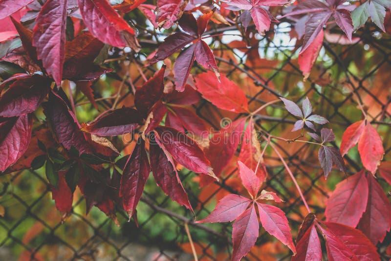 Folhas do outono vermelho III fotografia de stock