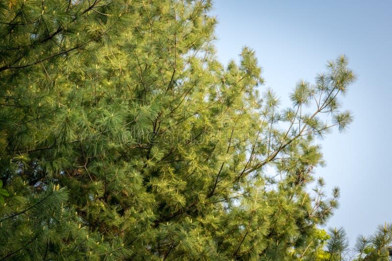 Folhas do pinheiro em Coreia do Sul fotos de stock
