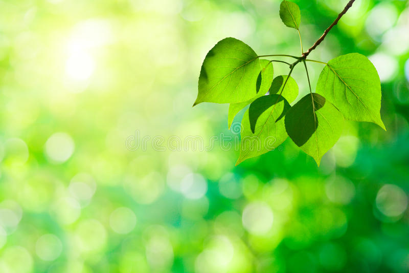Folhas do poplar foto de stock
