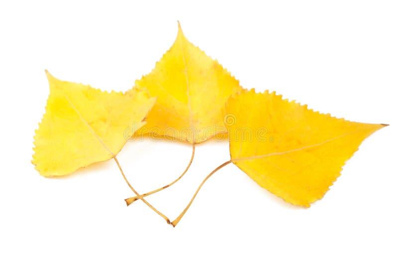 Folhas do poplar amarelo fotos de stock