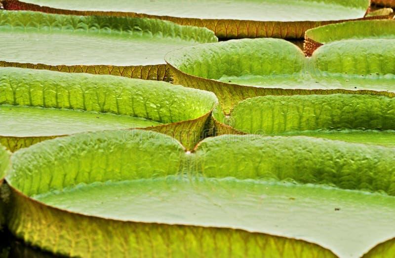 Folhas do regia de Victoria foto de stock