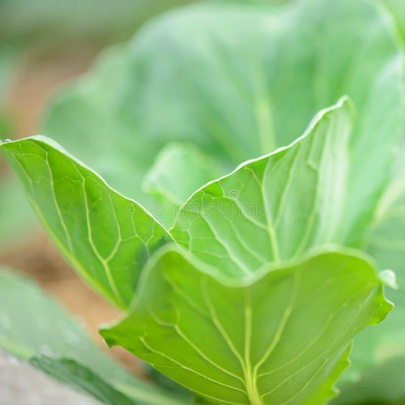 Folhas do repolho foto de stock