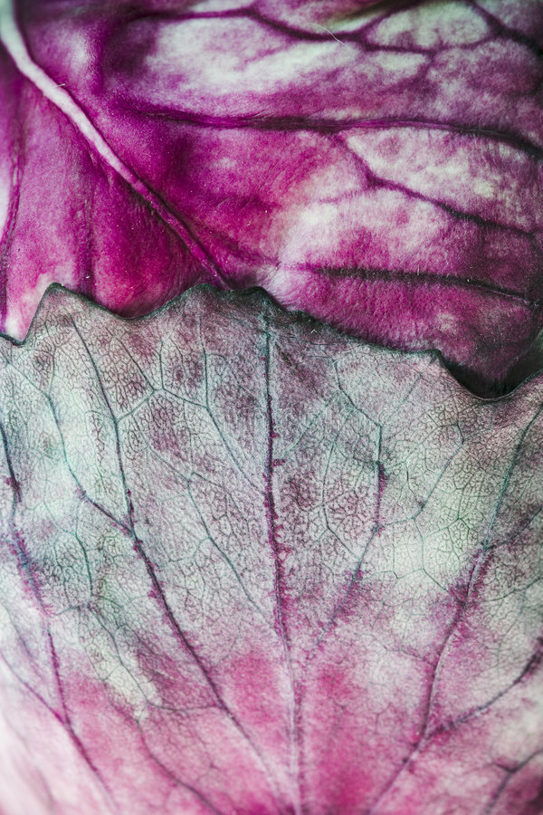 Folhas do repolho vermelho.   imagens de stock royalty free