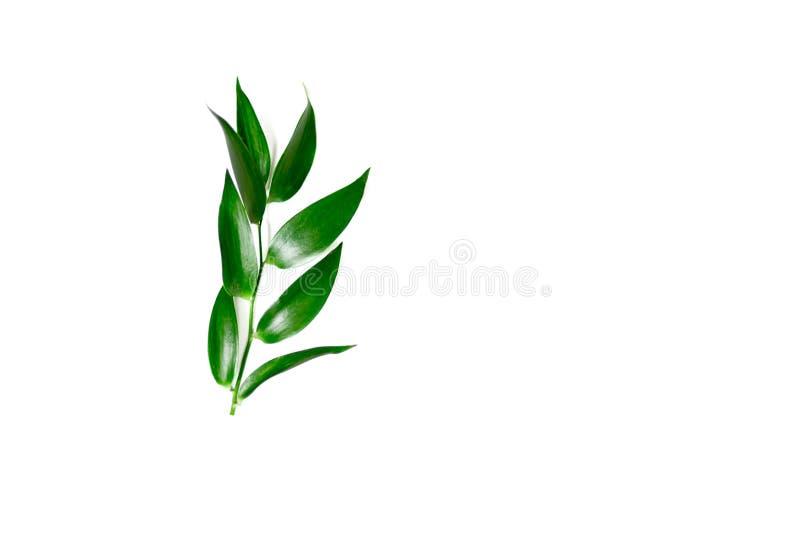 Folhas do Ruscus isoladas fotografia de stock