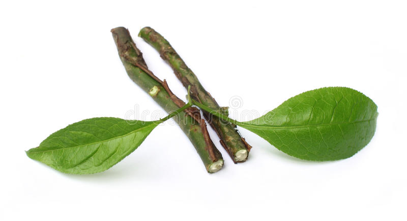 Folhas do Sandalwood com galhos fotos de stock