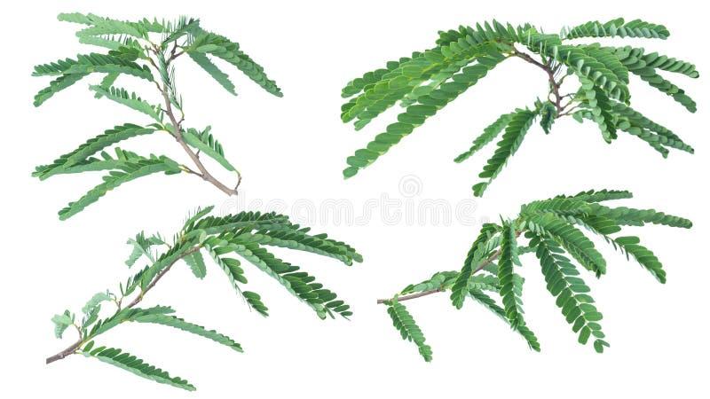 Folhas do tamarindo isoladas no fundo branco com trajeto de grampeamento imagens de stock royalty free