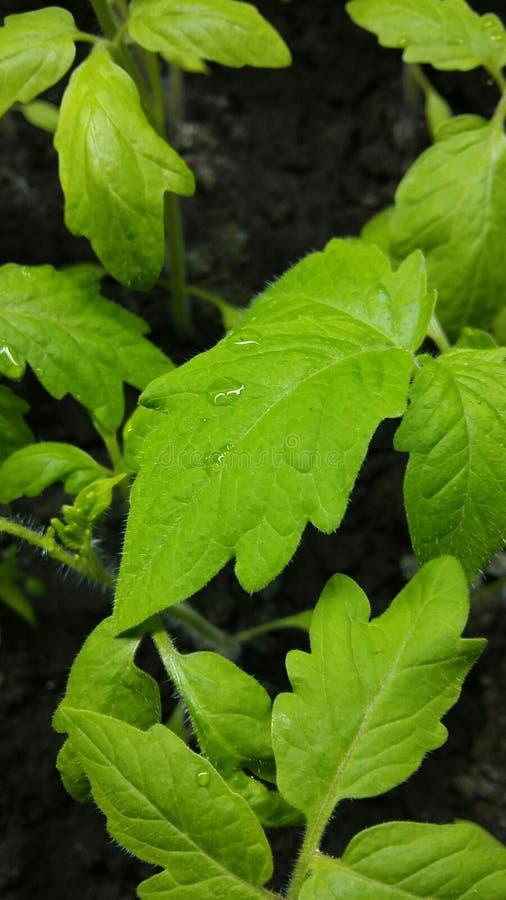 Folhas do tomate de Yang fotografia de stock