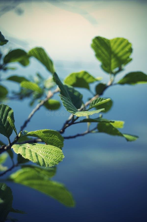 Folhas do verão em ramos pequenos imagens de stock royalty free