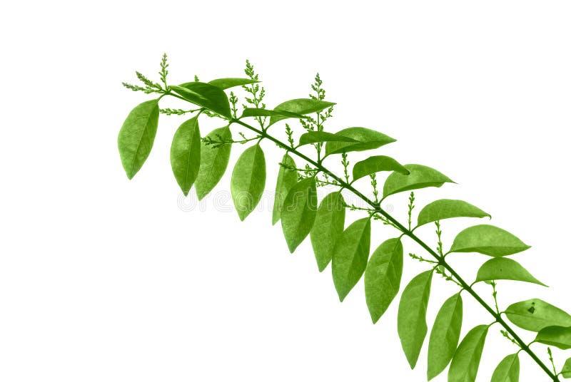 Download Folhas do verde imagem de stock. Imagem de ornamental - 12803391