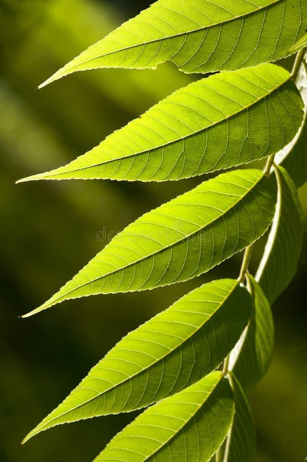 Folhas do verde fotografia de stock royalty free