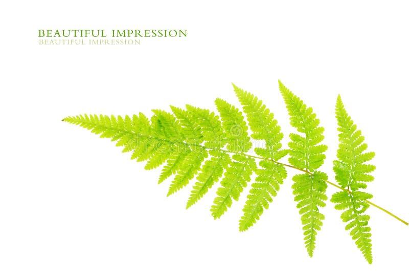 Folhas do verde fotografia de stock