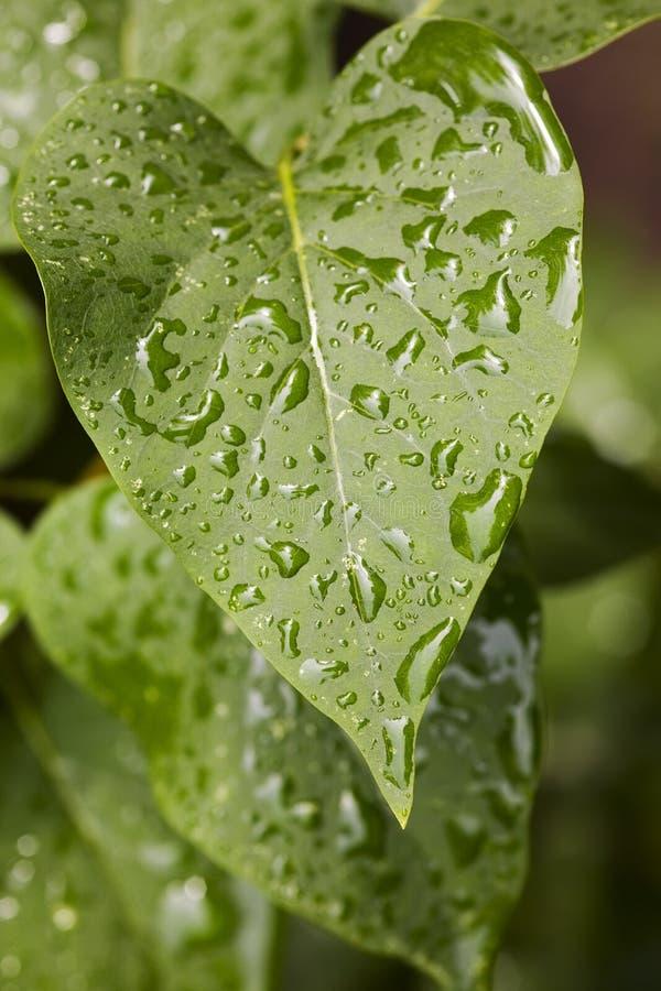 Folhas do verde após uma chuva fotografia de stock royalty free