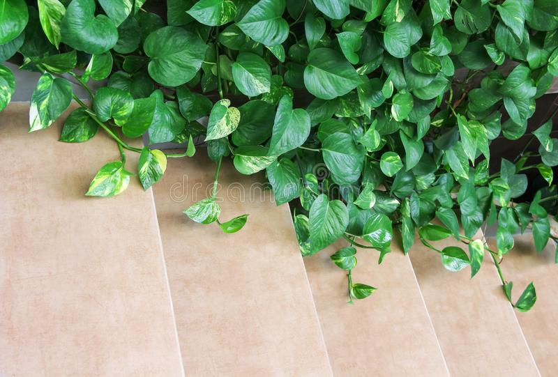 Folhas do verde do aureum do Epipremnum ou montanhista decorativo da natureza do pothos dourado no fundo da escadaria, espaço da  imagens de stock