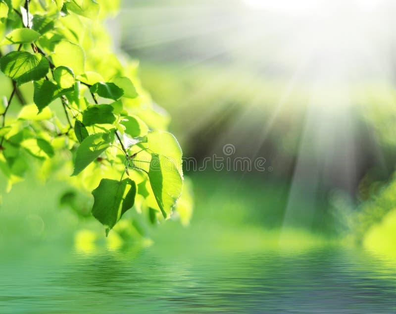 Folhas do verde com raia do sol fotografia de stock royalty free
