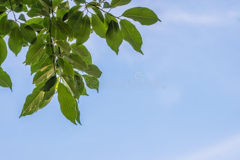 Folhas do verde contra um c?u azul fotos de stock royalty free