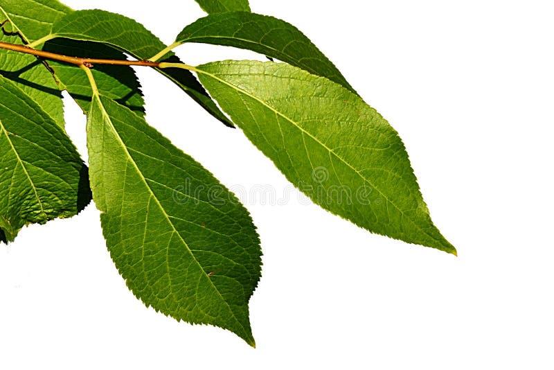 Folhas do verde da árvore chinesa pequena Eucommia Ulmoides da medicina tradicional no fundo branco foto de stock royalty free