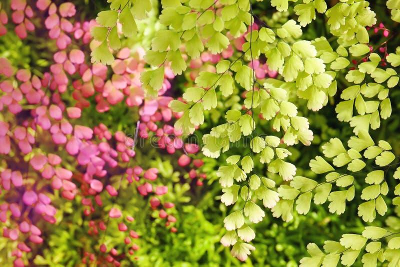 Folhas do verde da árvore e folhas cor-de-rosa no fundo com luz solar atrás foto de stock royalty free