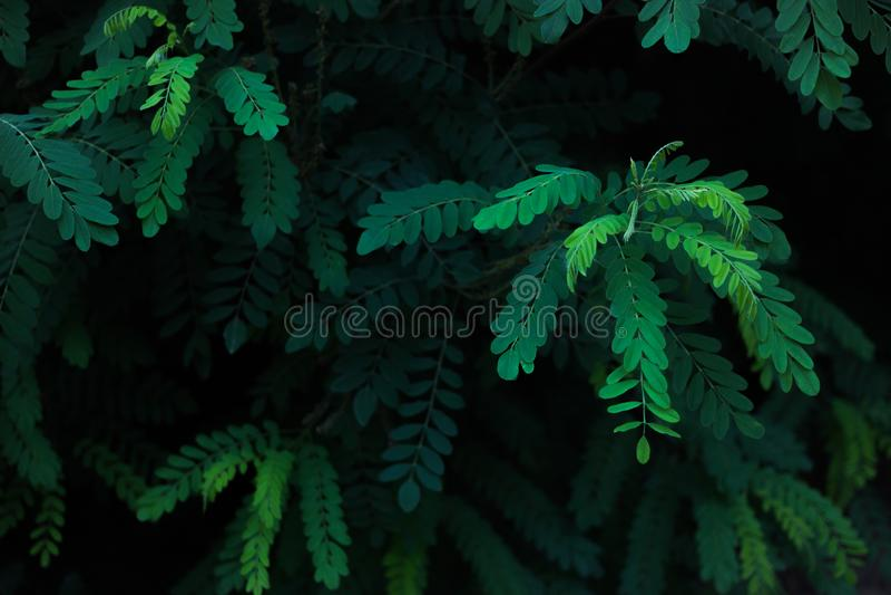 Folhas do verde da ac?cia na luz solar fotos de stock royalty free