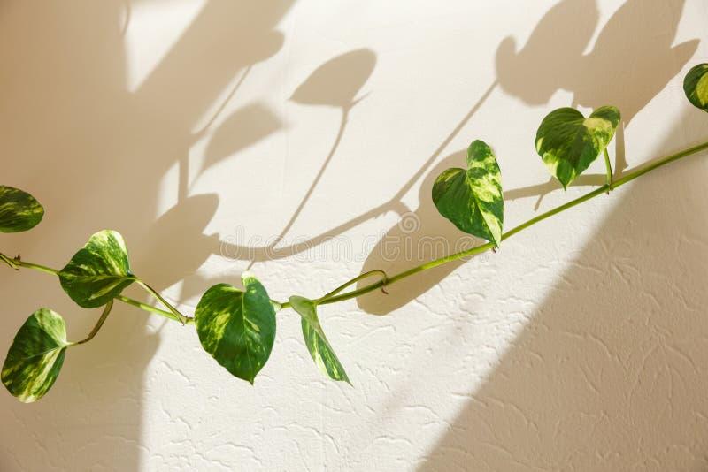 Folhas do verde da hera fotografia de stock