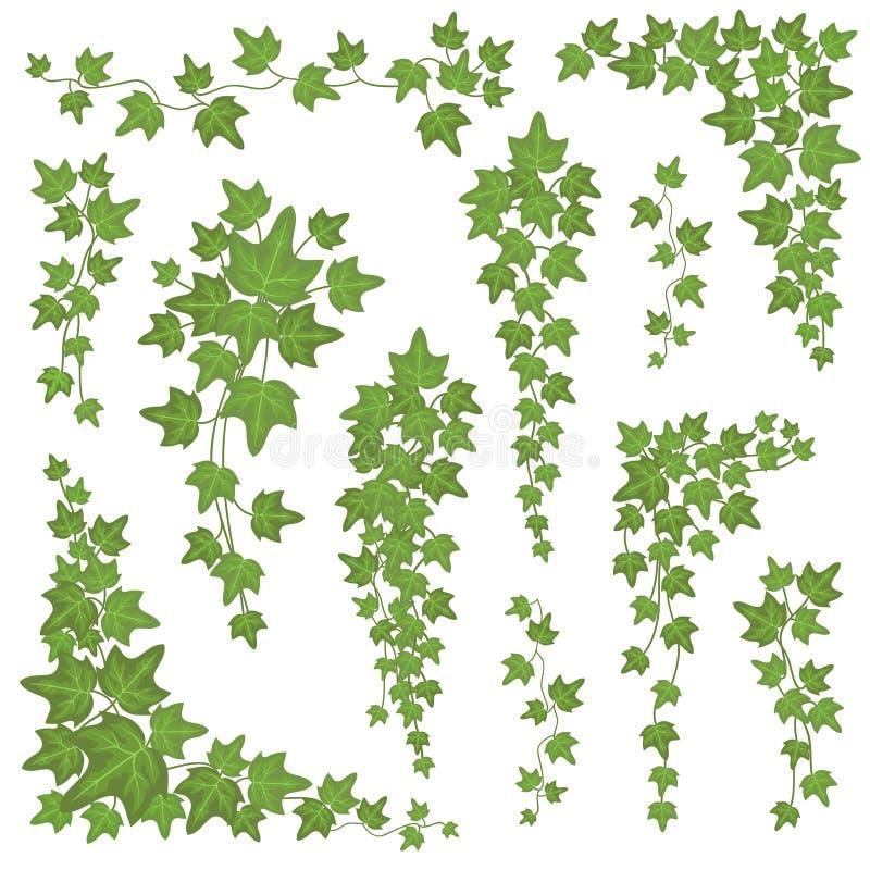 Folhas do verde da hera em ramos de suspensão Grupo de escalada do vetor da planta da decoração da parede isolado no fundo branco ilustração royalty free