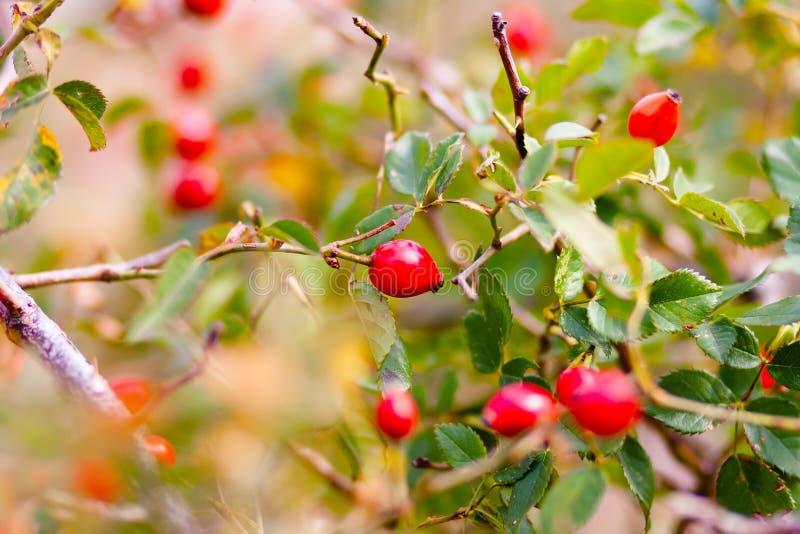 Folhas do verde da mola e baga vermelha fotografia de stock