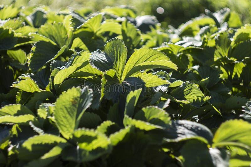 Folhas do verde da morango na luz solar, teste padrão das hortaliças para a ilustração do material de jardim foto de stock royalty free