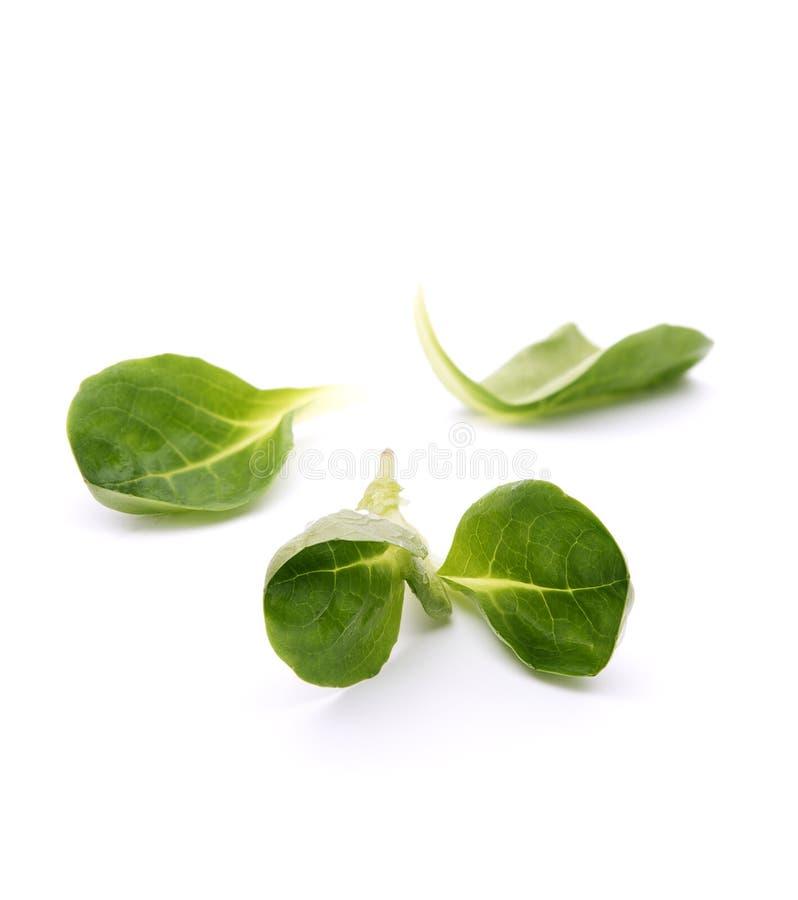 Folhas do verde da salada do valeriana imagem de stock