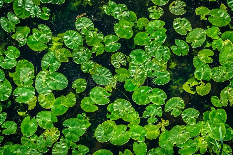 Folhas do verde de lírios de água imagens de stock