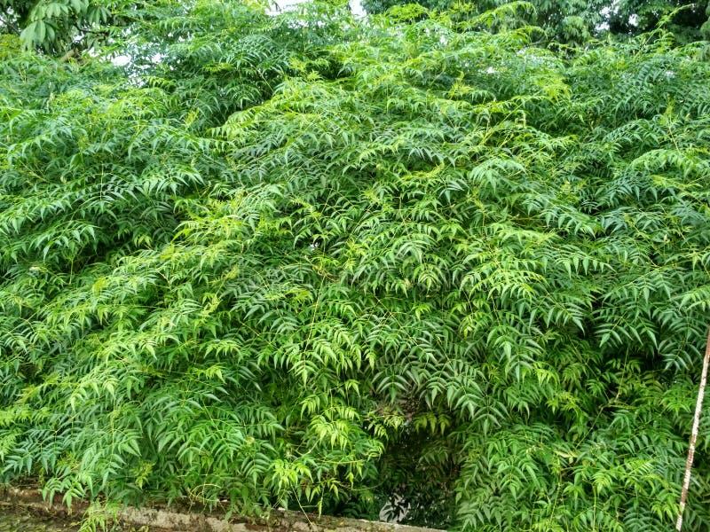 Folhas do verde de Neem foto de stock