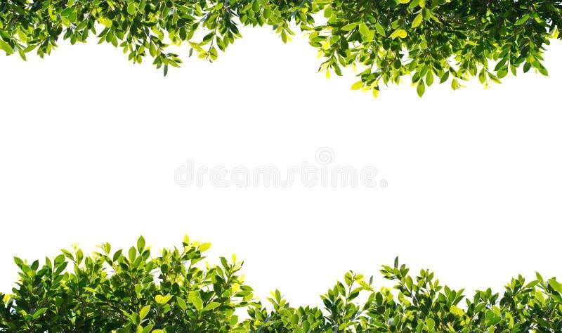 Folhas do verde do Banyan isoladas no fundo branco imagem de stock