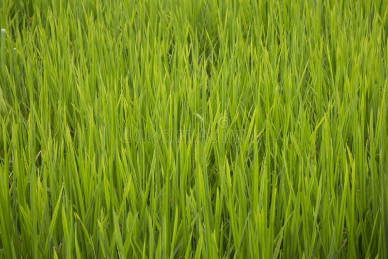 Folhas do verde do campo do arroz imagem de stock royalty free