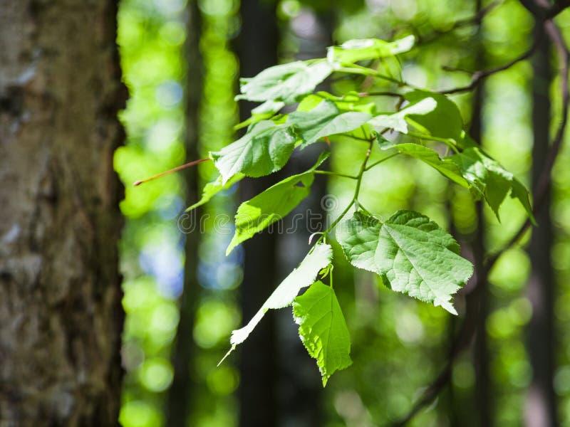 Folhas do verde do fim da árvore côr de avelã acima na floresta imagens de stock