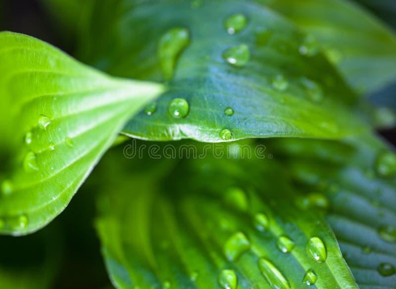 Folhas do verde do hosta com gotas de orvalho fotografia de stock royalty free
