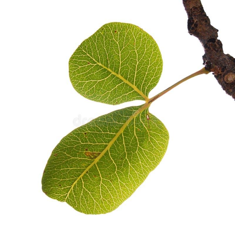 Folhas do verde do pistachio imagens de stock royalty free
