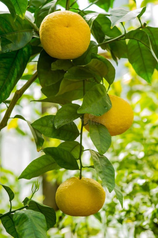 Folhas do verde dos frutos de árvore alaranjada do ramo fotos de stock