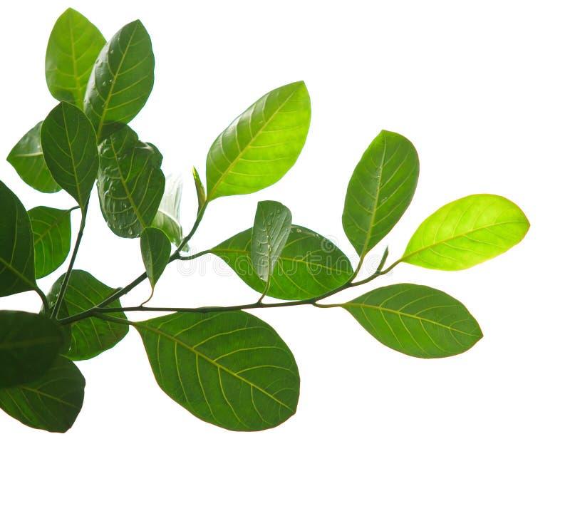 Folhas do verde e ramo de árvore isolado imagem de stock royalty free