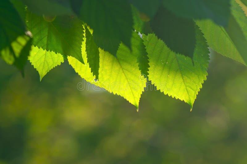 Folhas do verde em um fundo do bokeh fotos de stock royalty free