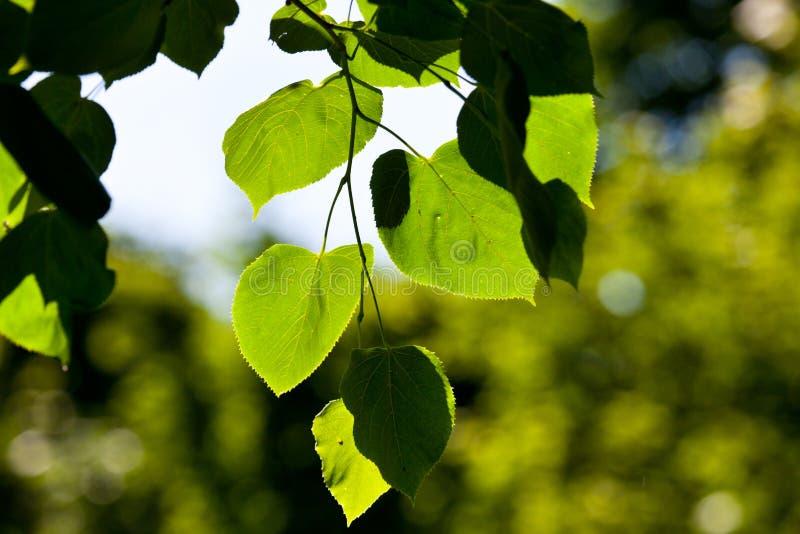 Folhas do verde, foco raso imagem de stock