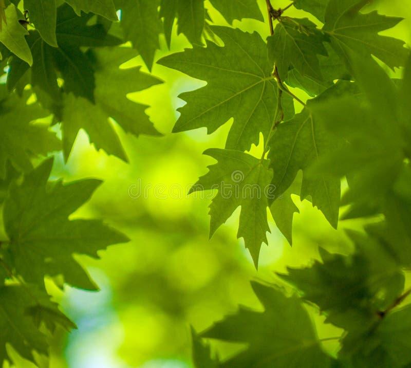 Folhas do verde, foco raso foto de stock