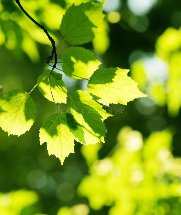 Folhas do verde, foco raso fotografia de stock royalty free