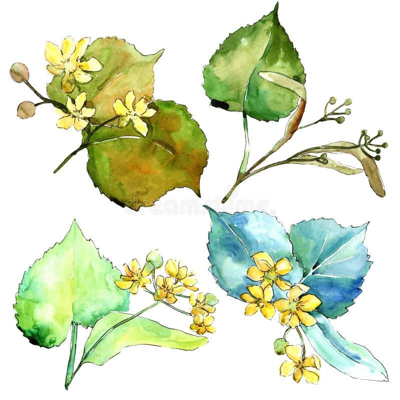 Folhas do verde do Linden da aquarela Folha floral do jardim botânico da planta da folha Elemento isolado da ilustração ilustração stock